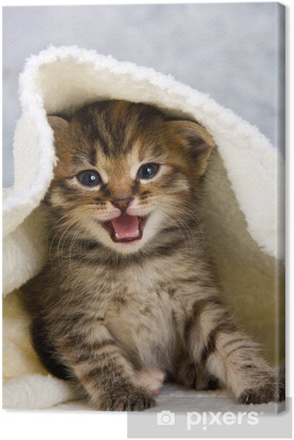 Kitten closed in towel Canvas Print - Themes