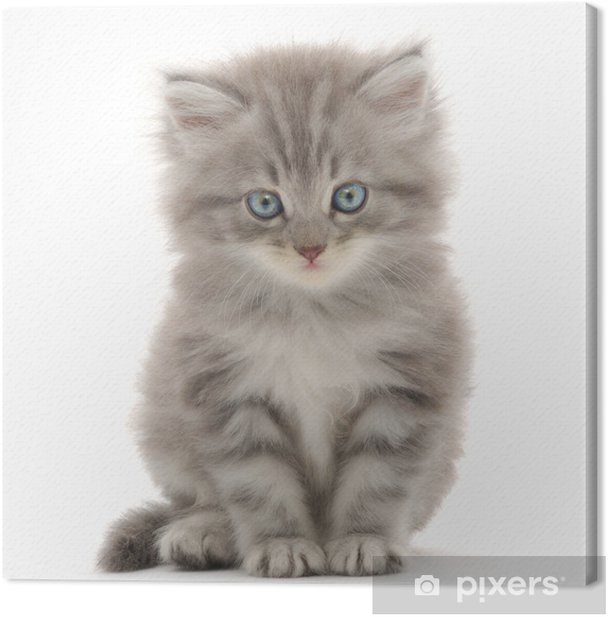 Kitten on a white background Canvas Print - Mammals