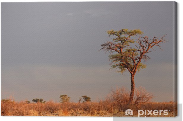 Landscape with a camelthorn Acacia tree (Acacia erioloba), Kalahari desert, South Africa Canvas Print - Trees
