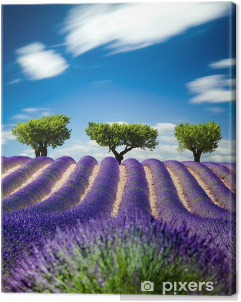 Lavande Provence France / lavender field in Provence, France Canvas Print -