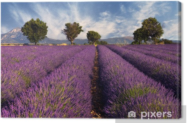Lavender field in Provence, France Canvas Print -