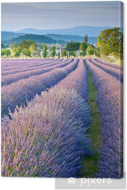 Lavender field in Provence Canvas Print -