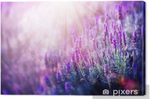 Lavender field Canvas Print - Themes