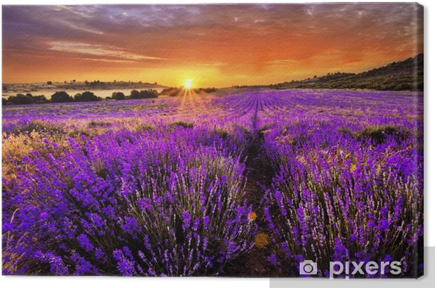 Lavender fields Canvas Print - Themes