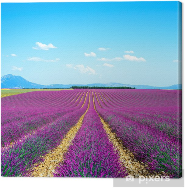 Lavender Flower Blooming Fields Endless Rows Valensole Provence Canvas Print Pixers We Live To Change