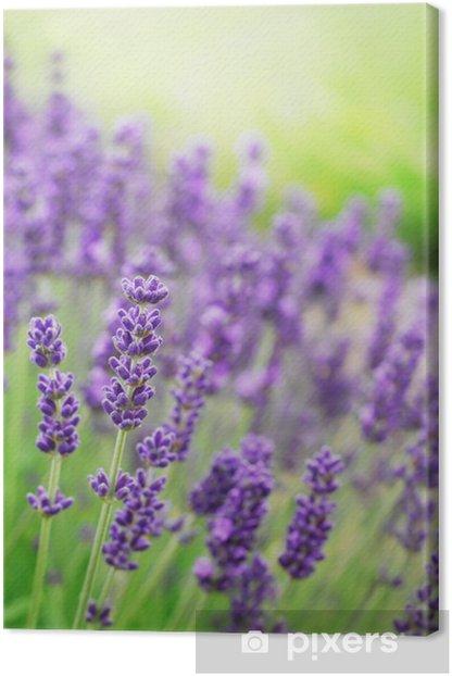 Lavender Flowers Canvas Print - Herbs