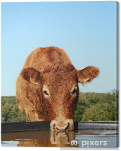 Limousin Cow Drinking With Reflection Head Canvas Print - Agriculture