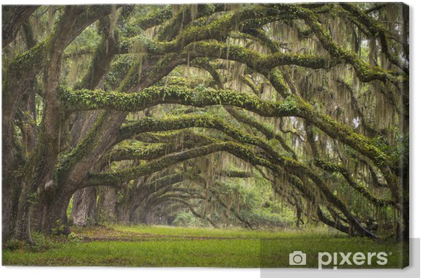 Live Oak tree forest Canvas Print - Styles