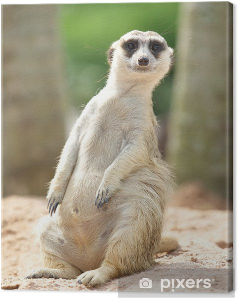 lovely meerkat standing and looking out at zoo Canvas Print - Wonders of Nature