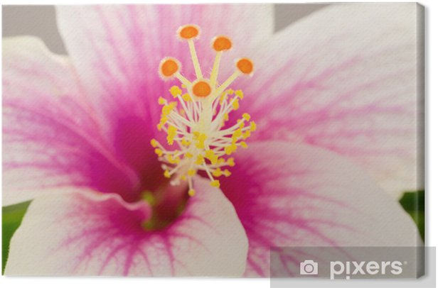 Macro Shot Of A Beautiful Pink And White Hibiscus Flower Canvas
