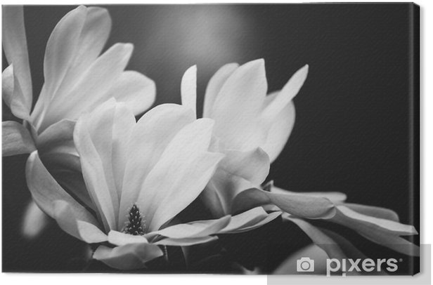 magnolia flower on a black background Canvas Print - Plants and Flowers