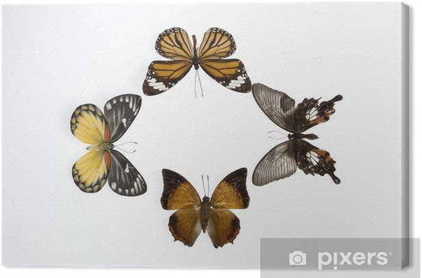 mariposas7852 Canvas Print - Other Other