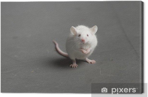Maus Canvas Print - Mammals