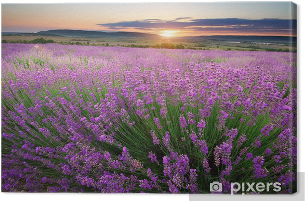 Meadow of lavender Canvas Print - Styles