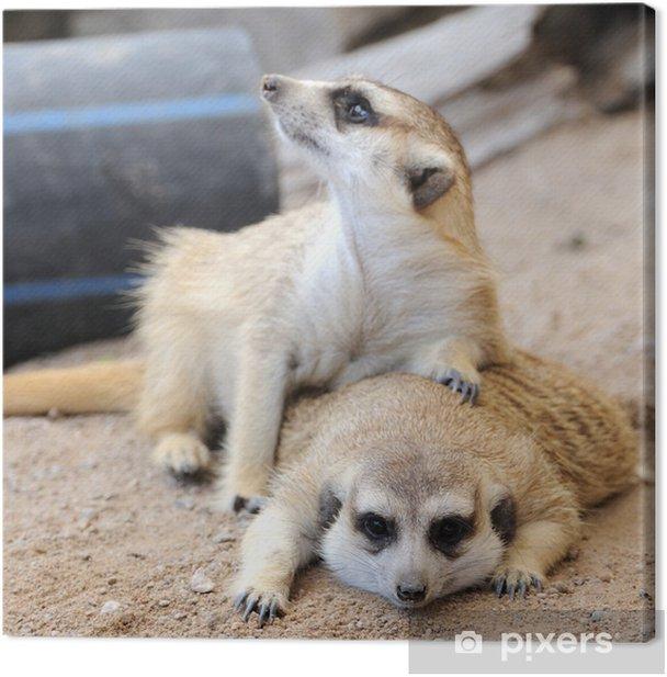 Meerkat or suricate, wild animal in action. Canvas Print - Mammals