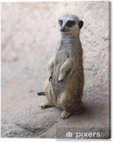 meerkat Canvas Print - Mammals