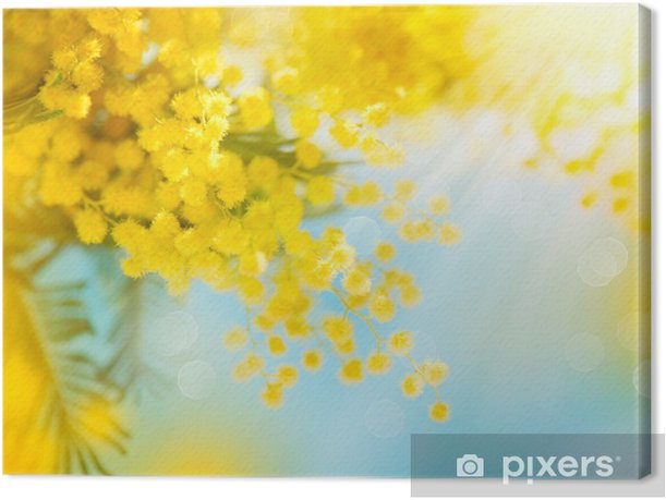 Mimosa Spring Flowers Easter Background Blooming Mimosa Tree Canvas
