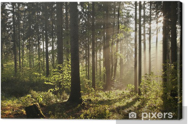 Misty coniferous forest backlit by the morning sun Canvas Print - Themes