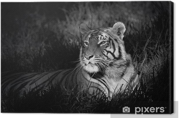 Monochrome image of a bengal tiger Canvas Print -