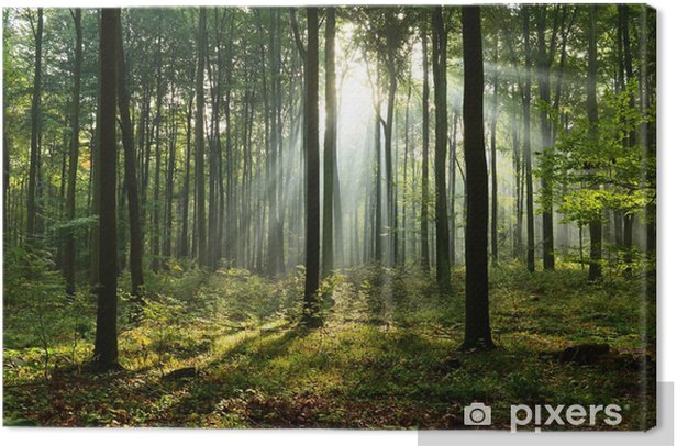 Morning in the forest Canvas Print - Landscapes