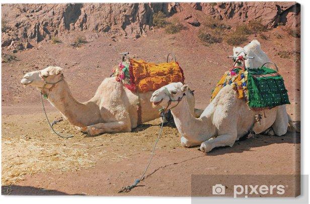 Morocco, Marrakech: Camels Canvas Print - Mammals
