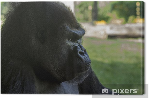 Mountain Gorilla Canvas Print - Mammals