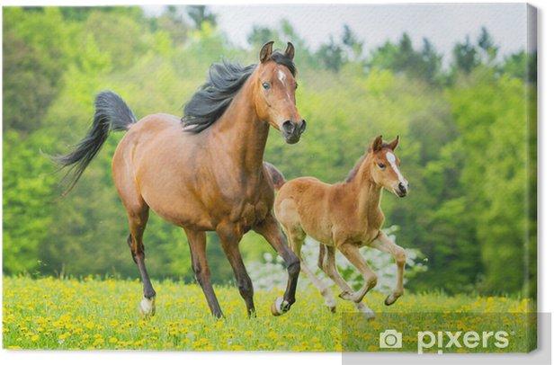 Mutterstute und Fohlen Canvas Print - Themes