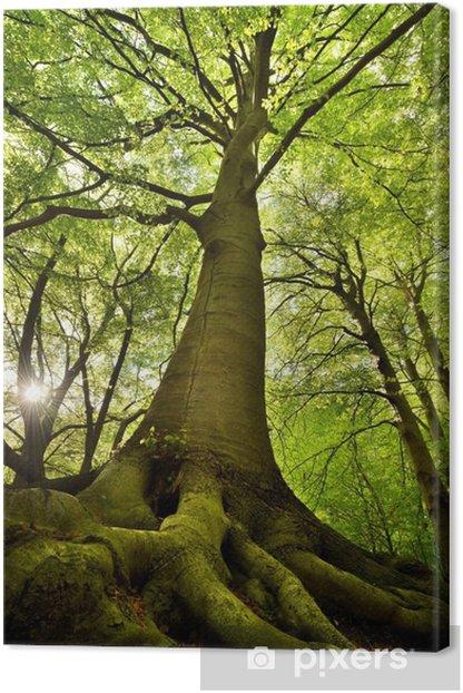 Old Beech Tree Canvas Print -