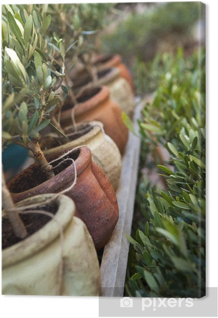 Olivier, plante, arbre, pot, jardin, Provence, terrasse Canvas Print ...