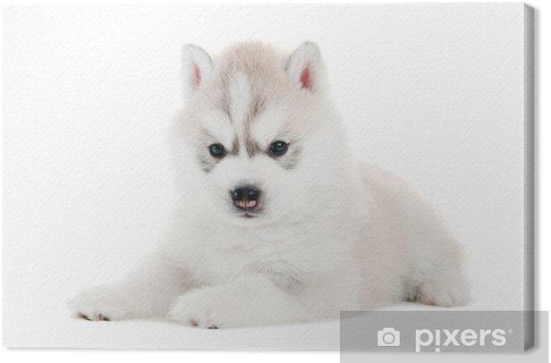 one Siberian husky puppy isolated Canvas Print - Mammals