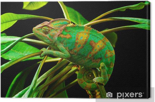 One Yemen chameleon Canvas Print - Themes