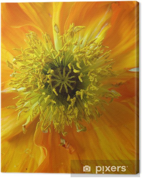 orange_poppy01 Canvas Print - Flowers