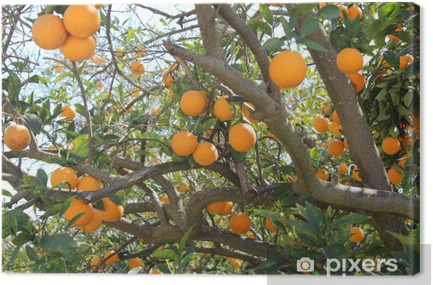 Oranges on a tree Canvas Print - Meals
