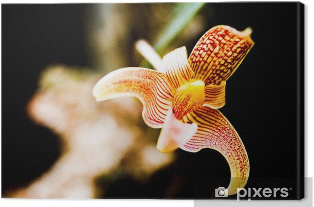 orchid Canvas Print - Flowers