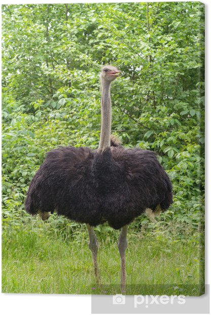 Ostrich Canvas Print - Europe