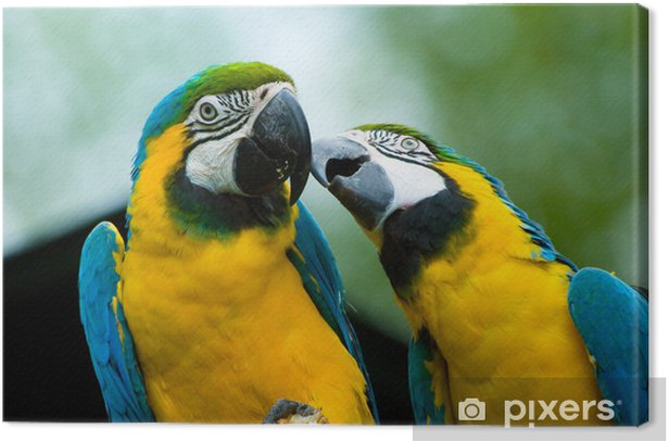 parrots in love Canvas Print - Themes