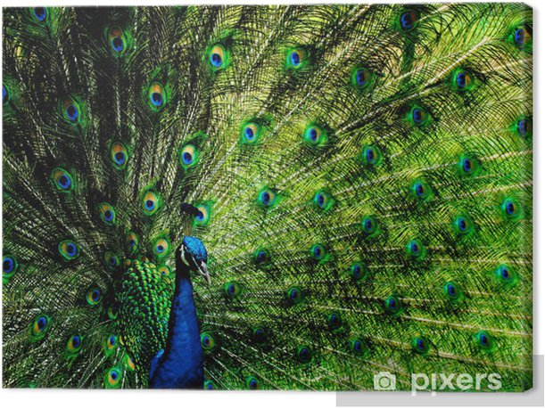 Pavo real Canvas Print - Asian Cities