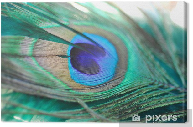 peacock feather Canvas Print - Asia