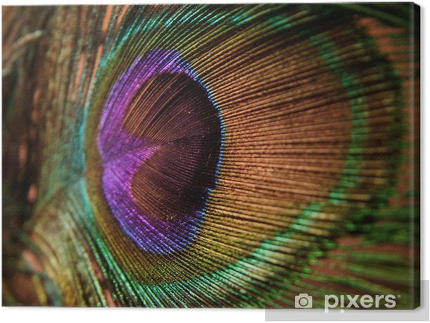 peacock, feather Canvas Print -