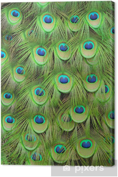 Peacock feathers Canvas Print - Textures