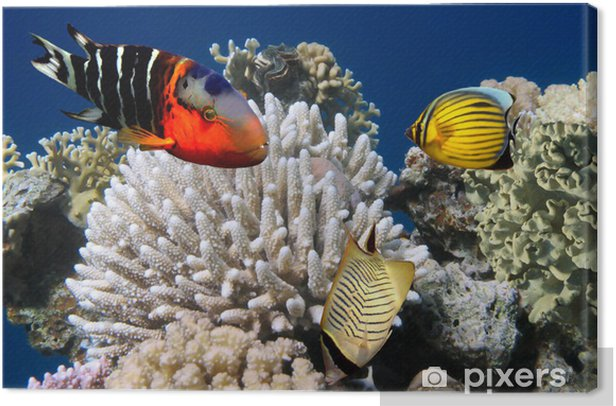 Photo of a coral colony on a reef Canvas Print - Themes
