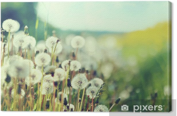 Photo presenting field of dandelions Canvas Print - Themes