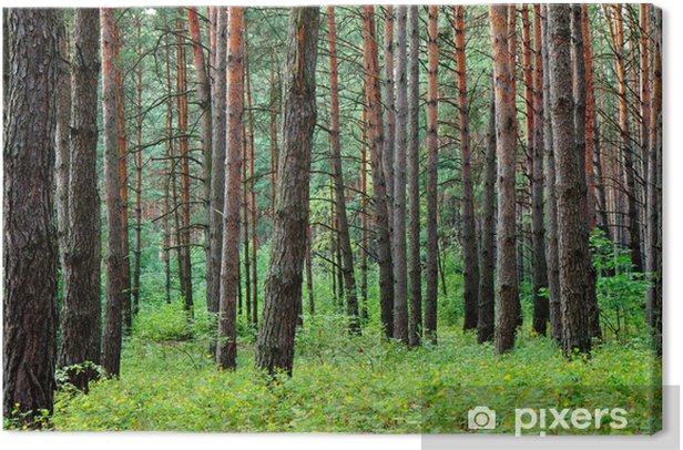 Pine forest after summer rain Canvas Print - Forests