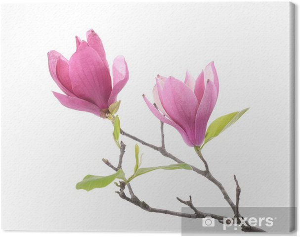 Pink Magnolia Flowers Isolated On White Background Canvas Print