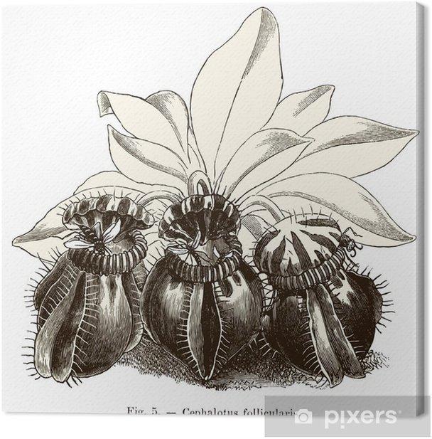 Plante carnivore : Cephalotus follicularis Canvas Print - Plants