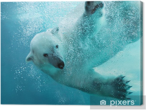 Polar bear underwater attack Canvas Print - Themes