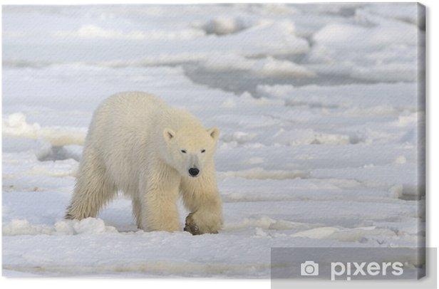 Polar bear walking on pack-ice. Canvas Print - Themes