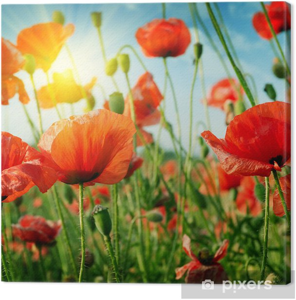 poppies field in rays sun Canvas Print - Themes
