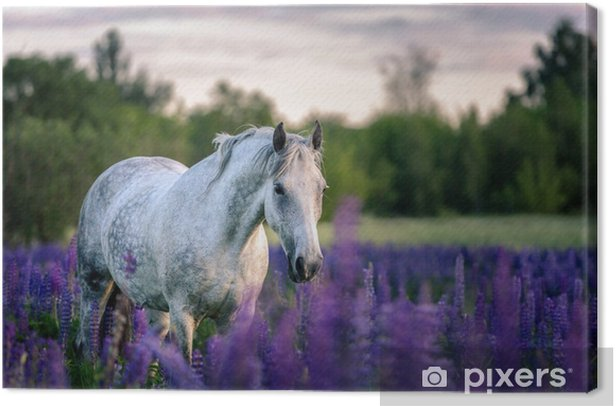 Portrait of a grey horse among lupine flowers. Canvas Print - Animals