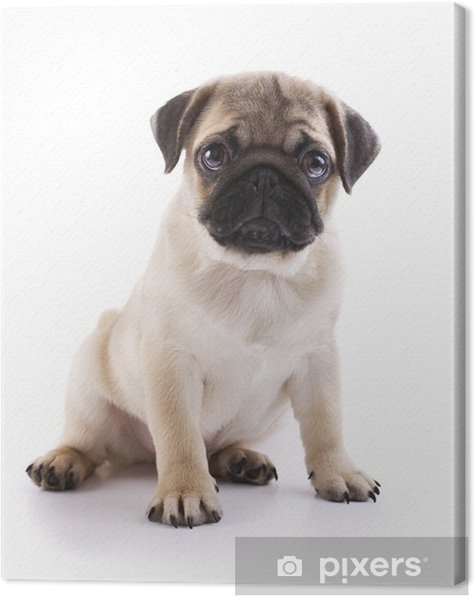 Pug puppy Canvas Print - Wall decals